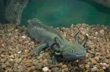Az axolotl