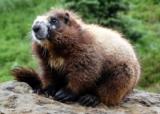 Csodálatos állatvilág - A füttyögő mormoták