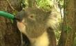 Szomjas koala