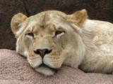 Csodálatos állatvilág - Az állatok királya