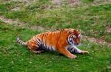 Csodálatos állatvilág - A legnagyobb macskaféle